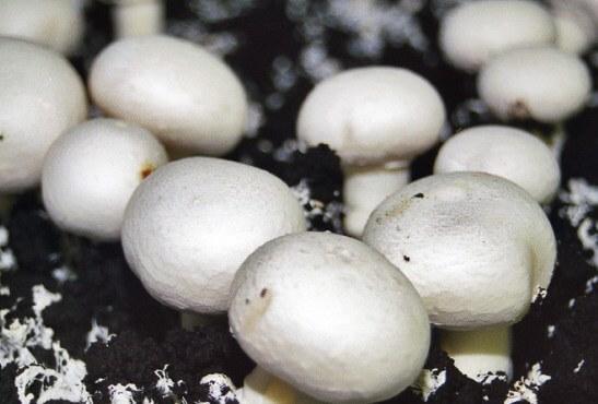 гриби вирощені на торфі